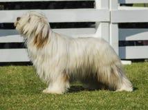 Собака Briard Стоковые Изображения