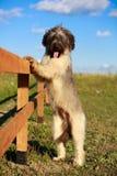 Собака Briard Стоковое Изображение RF