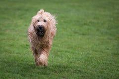 Собака Briard Стоковые Изображения RF