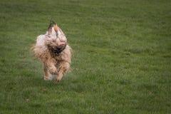Собака Briard Стоковая Фотография RF