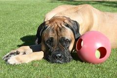 Собака Bullmastiff кладя вниз на траву с игрушкой собаки стоковые изображения
