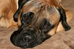 Собака Bullmastiff кладя вниз Стоковые Фото