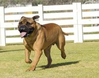 Собака Bullmastiff стоковая фотография rf