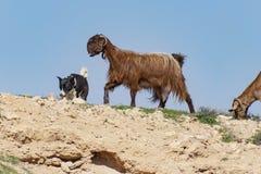 Собака Canaan табуня коз бедуина в Negev стоковые изображения