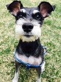 Собака Carrie Стоковая Фотография RF