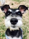 Собака Carrie Стоковая Фотография