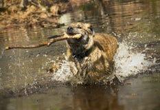 Собака Catahoula бежать и брызгая с ручкой в своем рте Стоковые Изображения RF