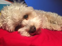 Собака Cavoodle Стоковое Изображение