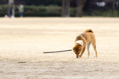 Собака Chiba Стоковое фото RF