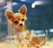 собака chihuaha Стоковая Фотография RF