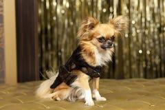 собака chiuahua harry Стоковые Фото
