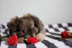 Собака Chompom с красной розой стоковые изображения