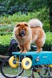 Собака Chow Chow Стоковое Изображение RF