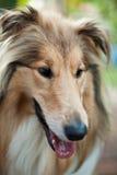 собака colie breed стоковое изображение rf