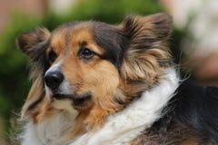 Собака Corgi стоковые изображения