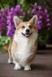 собака corgi Стоковые Фото