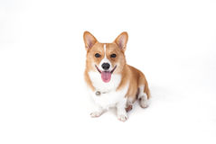 Собака Corgi Стоковое Изображение RF