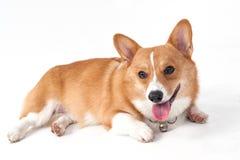 Собака Corgi Стоковое Изображение