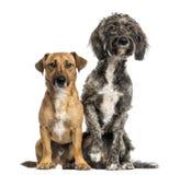 Собака crossbreed Бретани Briard и jack russel сидя совместно Стоковые Фото