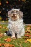Собака Crossbreed в осени Стоковая Фотография RF