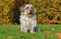 Собака Crossbreed в осени Стоковое Изображение