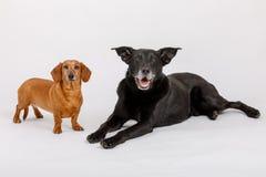 Собака Crossbreed и такса, лучшие други Стоковая Фотография RF