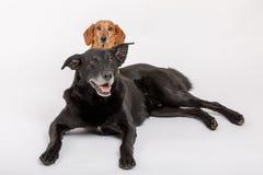 Собака Crossbreed и такса, лучшие други Стоковые Фотографии RF