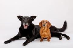 Собака Crossbreed и такса, лучшие други Стоковые Изображения