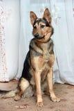 Собака crossbreed чабана стоковая фотография