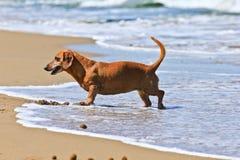 Собака Dachshund на пляже Стоковое Изображение RF