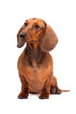 собака dachshund предпосылки изолированная над белизной Стоковое Изображение