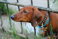 Собака Dachshund Стоковое Фото