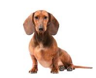собака dachshund Стоковое Изображение RF