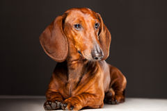 собака dachshund Стоковые Фотографии RF