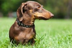 собака dachshund стоковое изображение