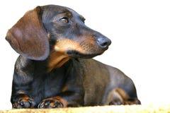 собака dachshund Стоковая Фотография RF