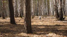 Собака Dalmation бежать с куском дерева на поле Далматинская собака с ручкой Стоковые Фотографии RF