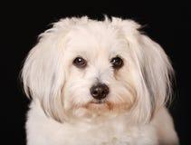 Собака de Tulear хлопка Стоковое Изображение