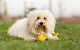 Собака de Tulear хлопка Стоковые Фотографии RF