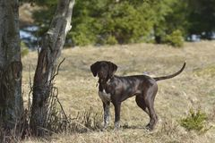 Собака Deutsch Kurzhaar немецкая Коротк-с волосами указывая стоковая фотография rf