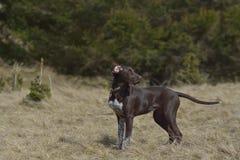 Собака Deutsch Kurzhaar немецкая Коротк-с волосами указывая Стоковые Фотографии RF