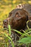 Собака Deutsch Kurzhaar Стоковая Фотография RF
