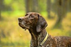 Собака Deutsch Kurzhaar Стоковые Изображения
