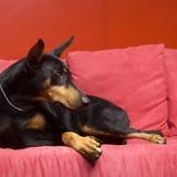 собака doberman Стоковое Изображение
