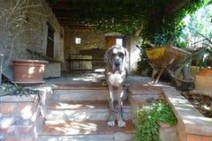 Собака Dogo в лестницы Стоковая Фотография RF