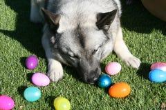 Собака Elkhound норвежца кладя на траву играя с пасхальными яйцами Стоковая Фотография RF