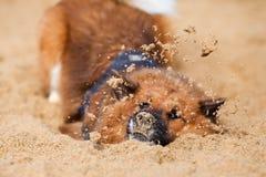 Собака Elo играя с песком Стоковые Фото