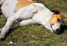 Собака espanol Galgo Стоковое фото RF