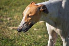 Собака espanol Galgo Стоковое Фото