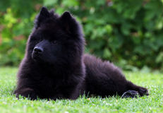 Собака Eurasier Стоковые Изображения RF